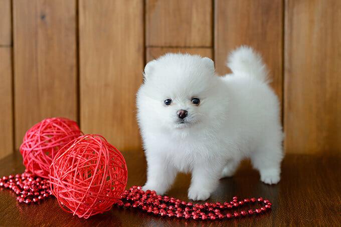 pomeranian puppy photo