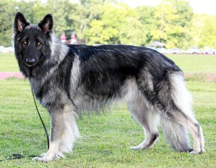 Shiloh shepherd dog