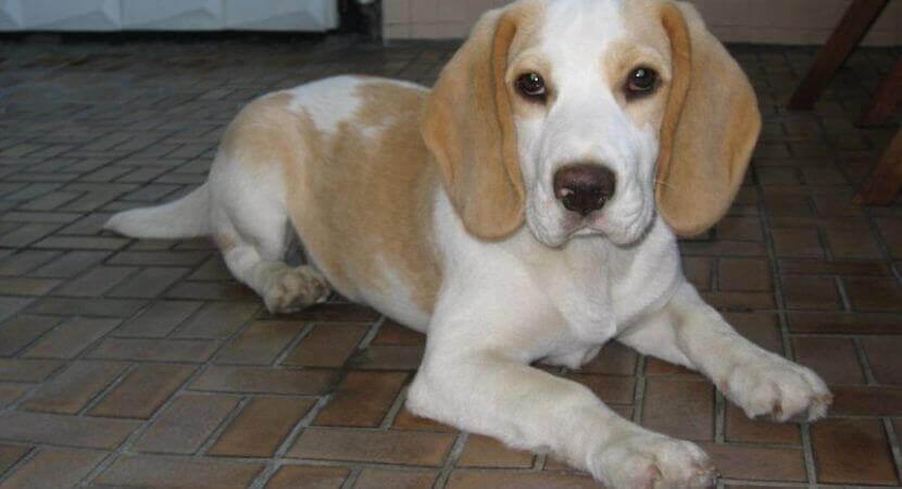 Beagle Lab Mix picture