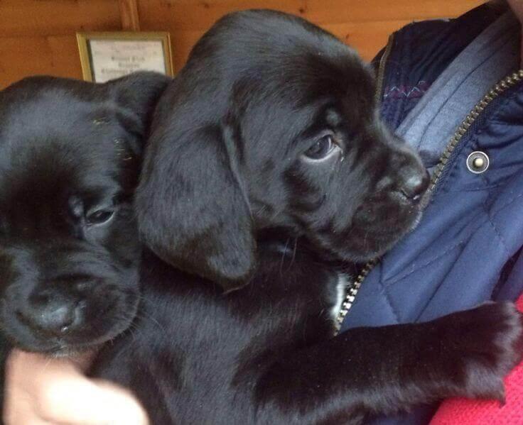Boxer Lab Mix puppies photo