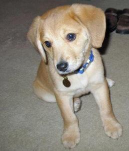 Yallow lab beagle mix