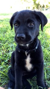 aussiedor black puppy