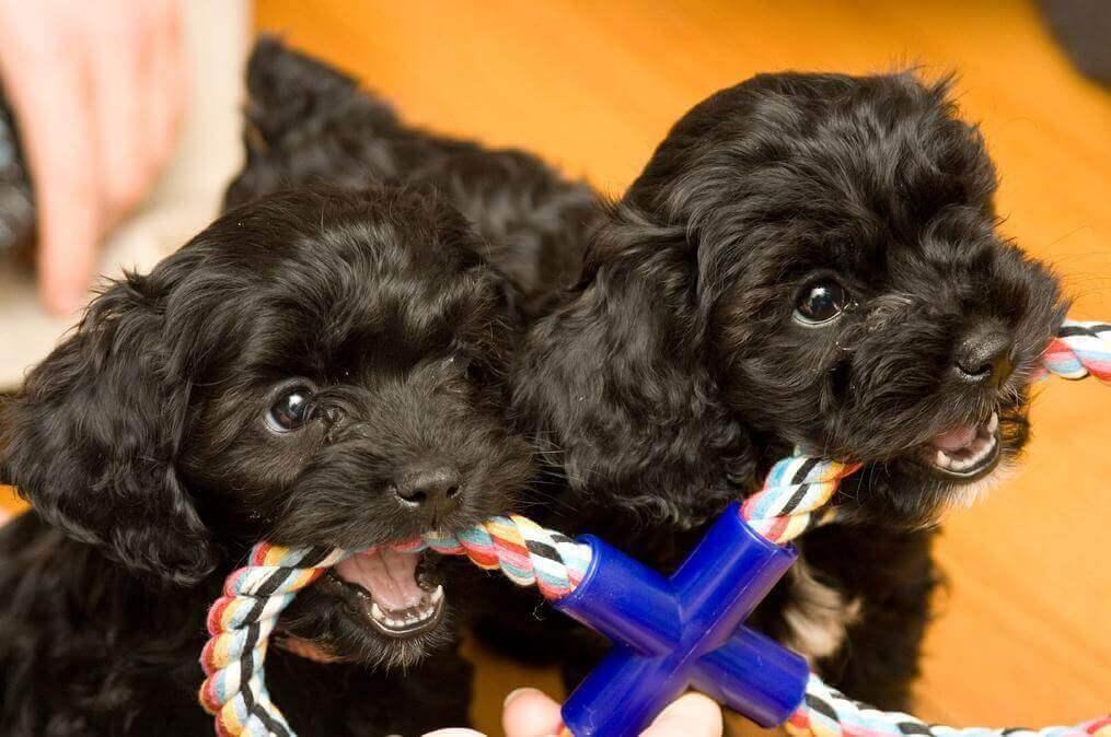 balck cockapoo puppies