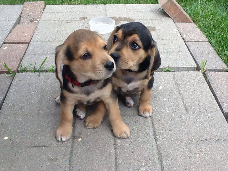 beagle lab mix puppy for sale