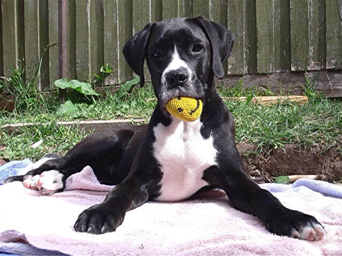 boxador dog picture