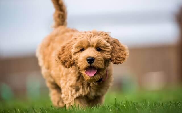 cockapoo puppy image