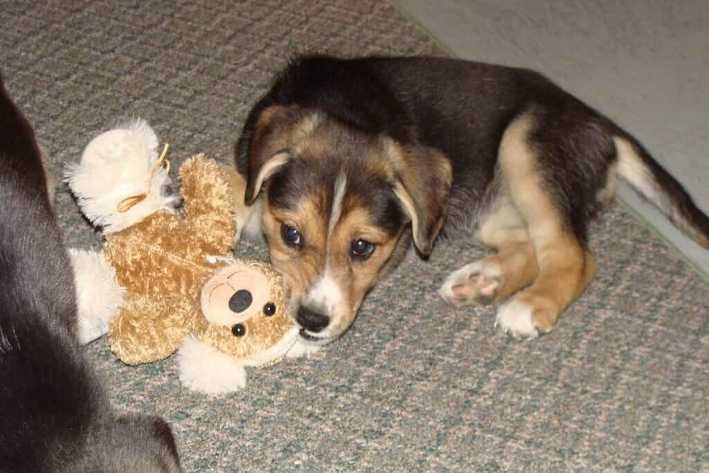 lab beagle mix playing with toy