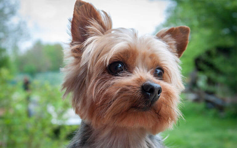 yorkshire terrier dogmal