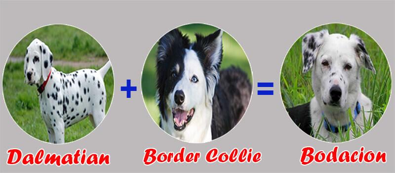 Border_Collie_Dalmatian_Bodacion
