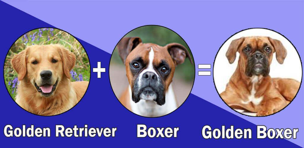 Golden Boxer