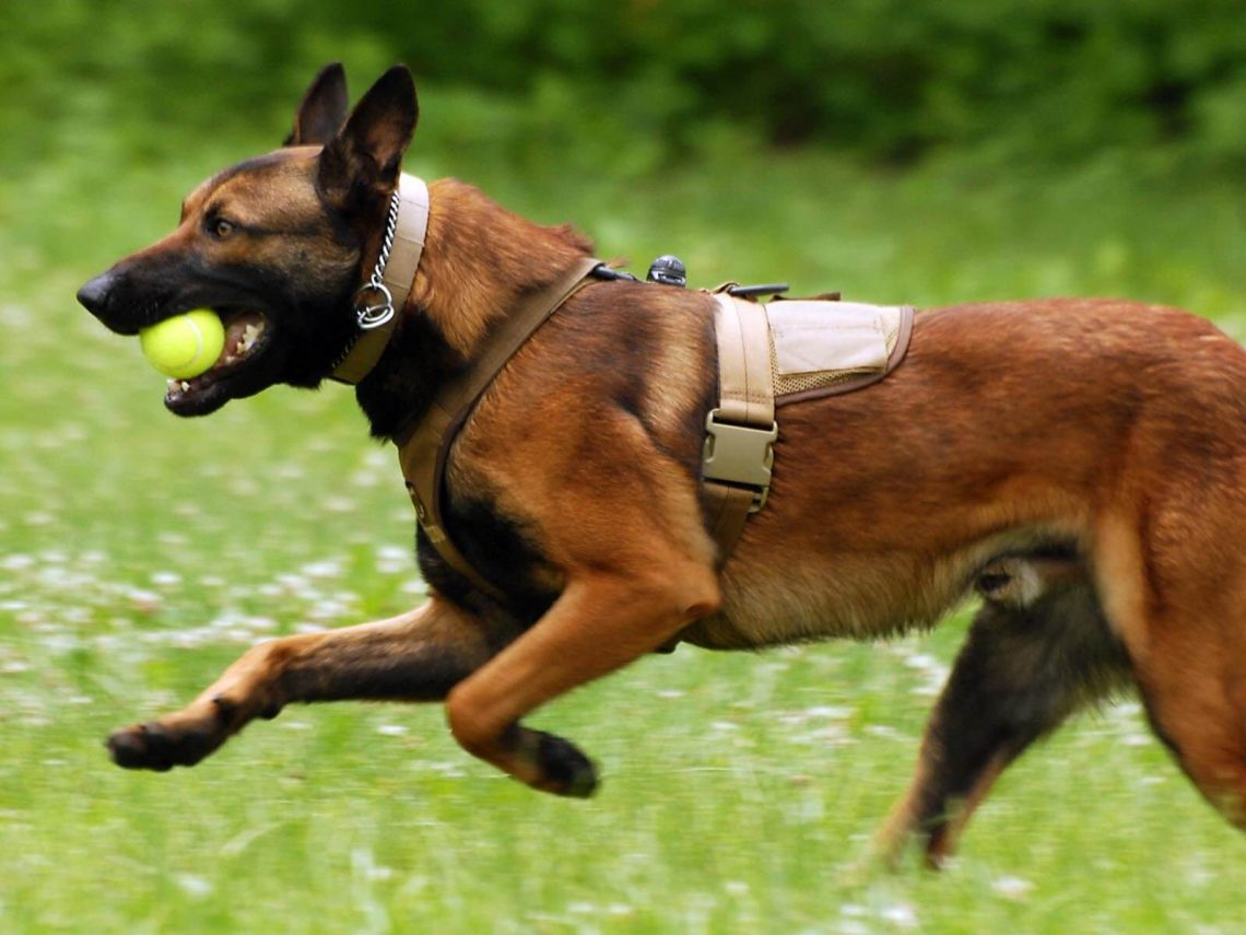 Belgian malinois hd wallpaper