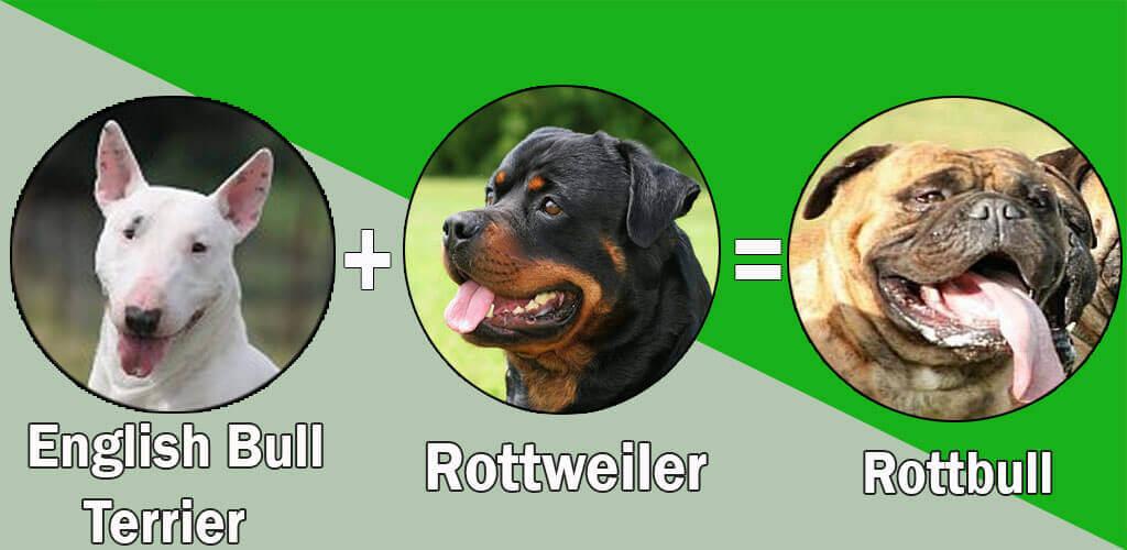 Rottbull