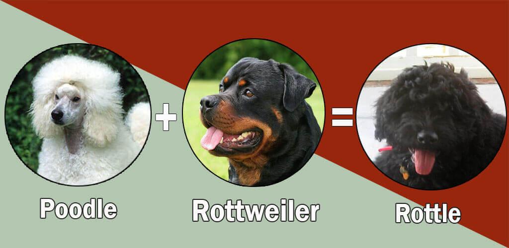 Rottle
