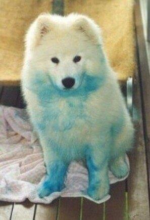 Samoyed cutest dog