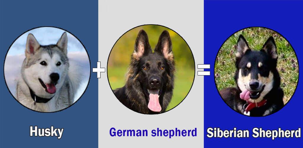 Siberian Shepherd