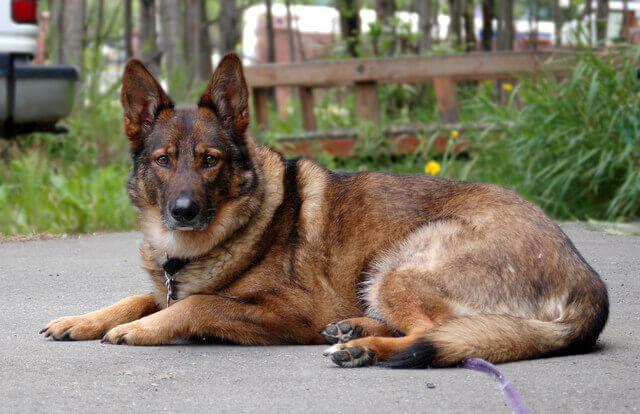 gerberian shepsky hd photo