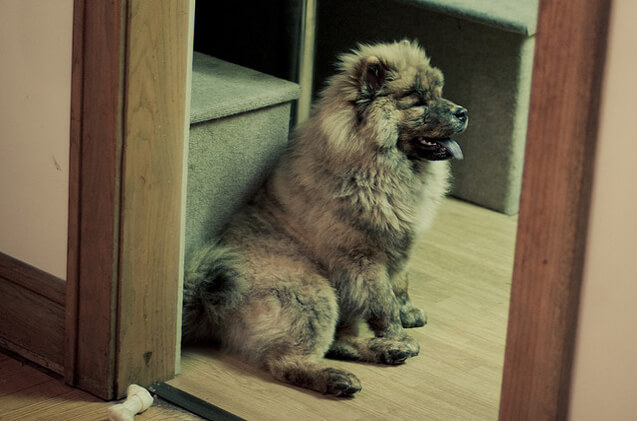 Adult chusky dog breed