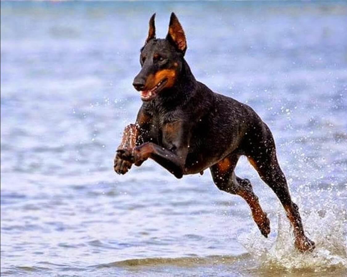 Doberman Pinscher Dog