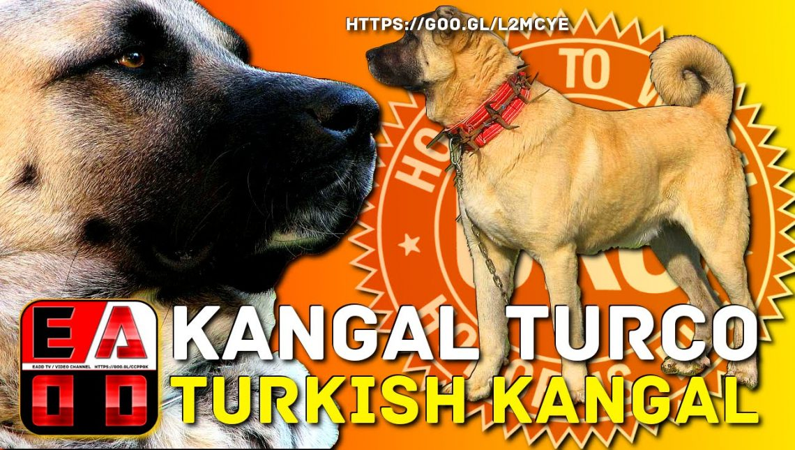KANGAL_TURKISH_History