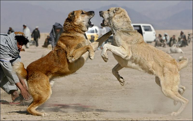 Kangal Dog Fight photo