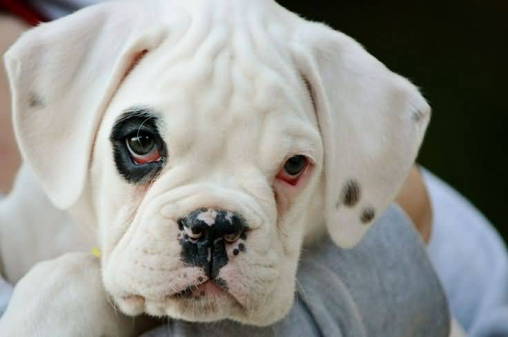 Pure-White Cute Boxer Dog Puppies