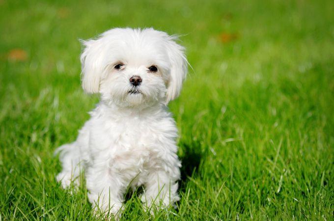 Teacup Maltipoo Dog Breed