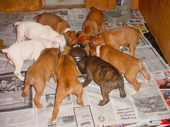 boxer puppies feeding