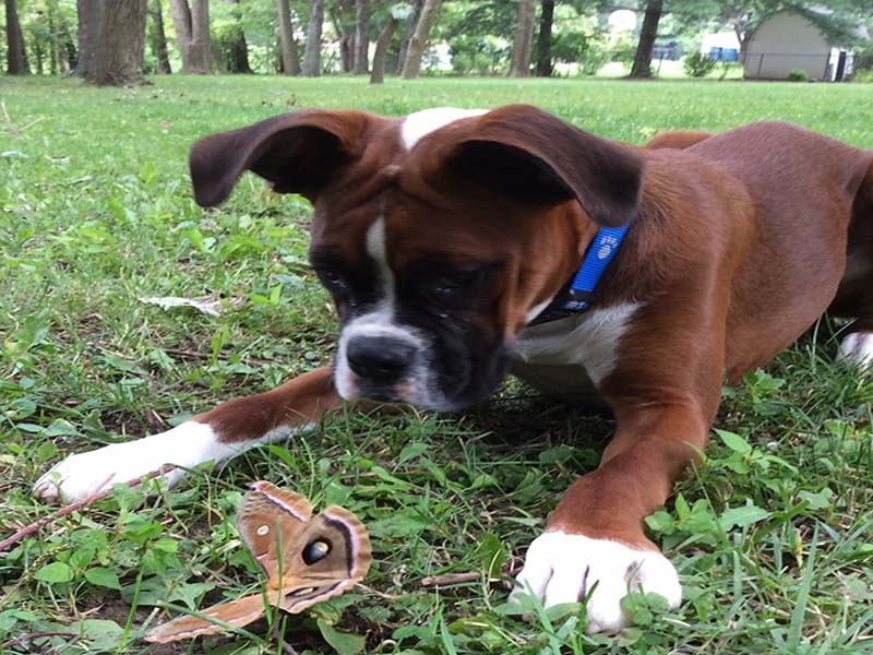boxer with buterfly