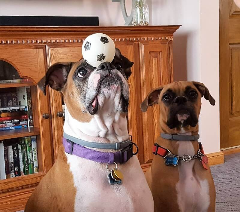 funny boxer dogs