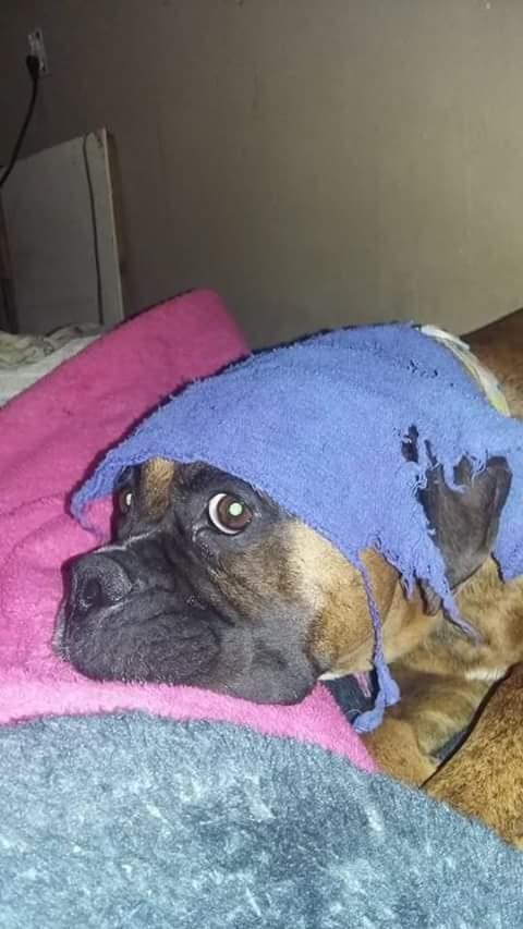 funny sleep boxer dog
