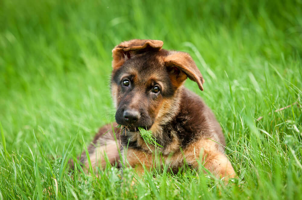 German shepherd cute puppy