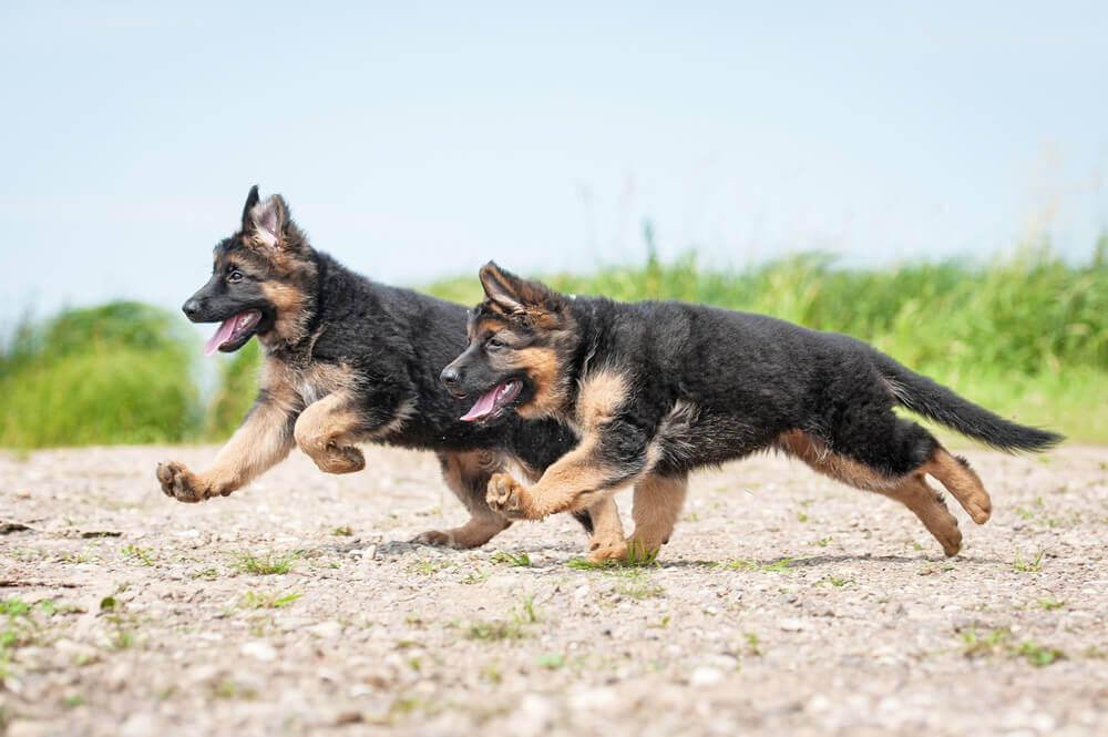 German shepherd puppy playing