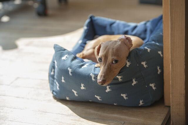 Small dachshund hd photo