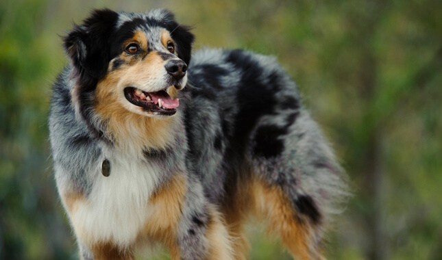 australian-shepherd-dog_photo