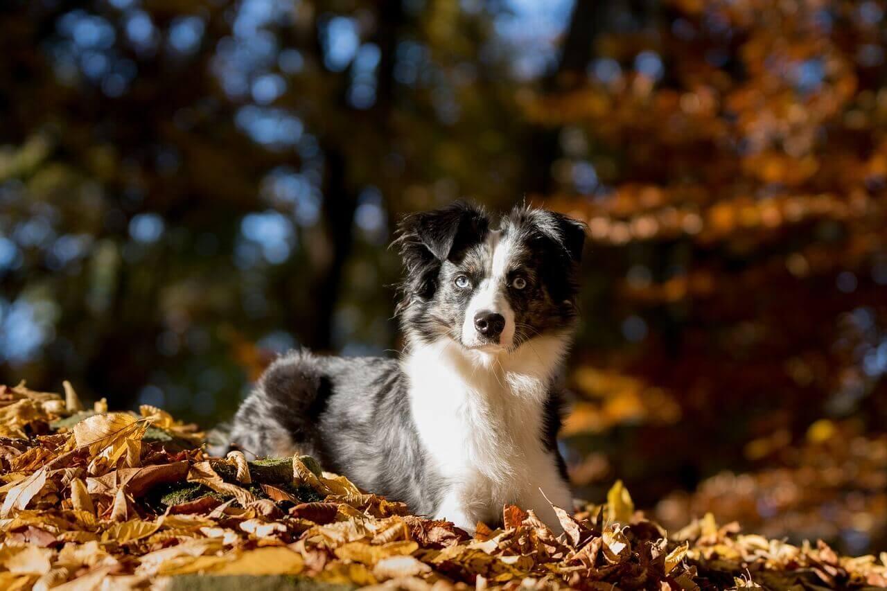 australian-shepherd-puppy-price