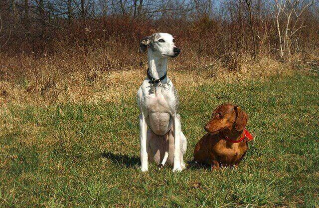 dachshund hd photo