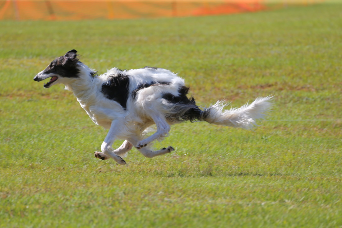 Borzoi_dog_speed