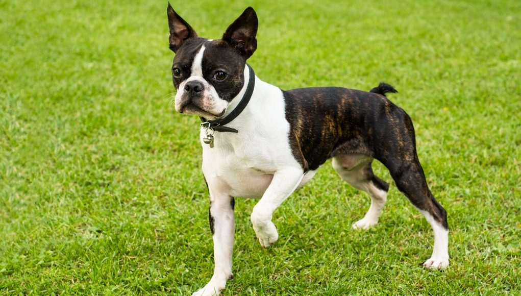 Boston Terriers cute dog