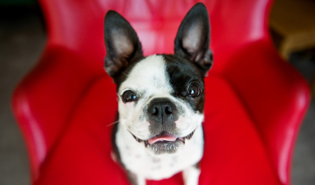 Boston Terriers dog