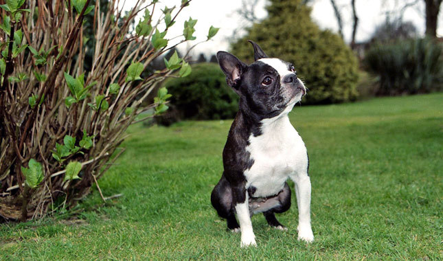 Boston Terrier hd photo