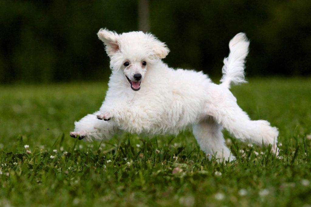 Miniature-Poodle