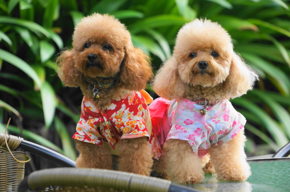 Toy poodle free images
