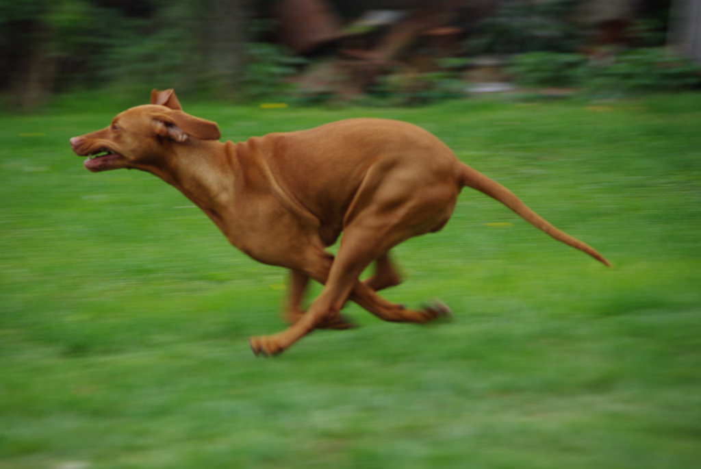 Vizsla_speed