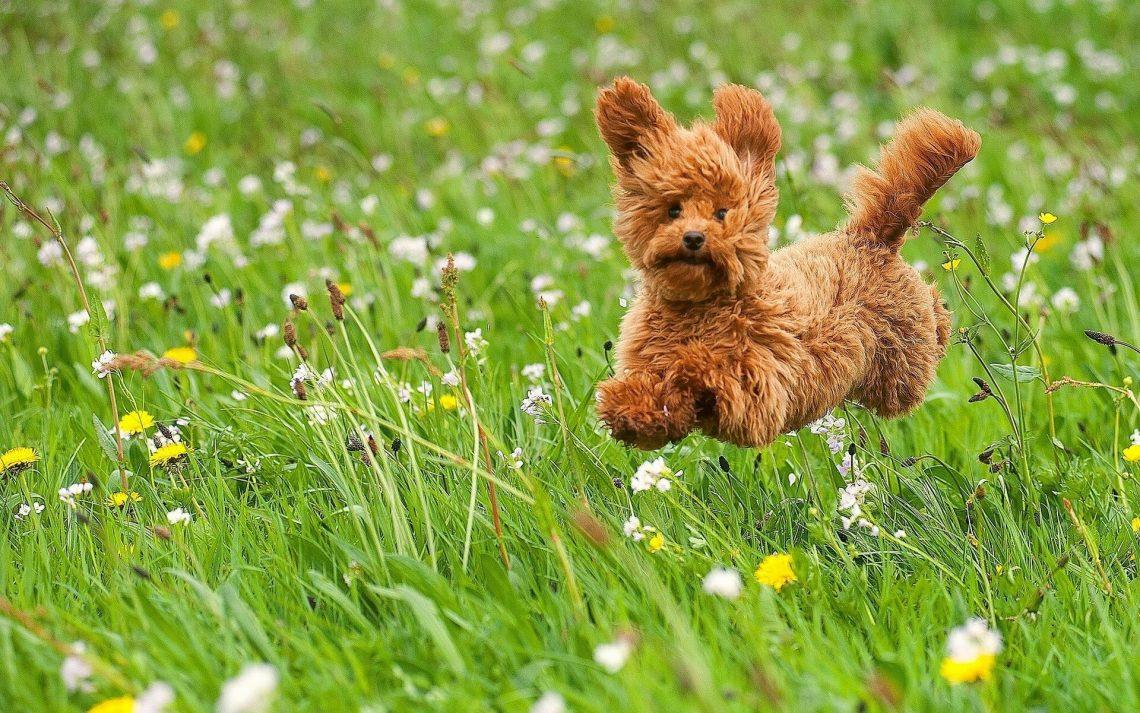 toy_poodle_training