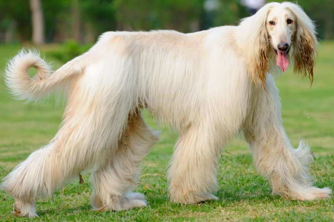 Afghan Hound long hair dog