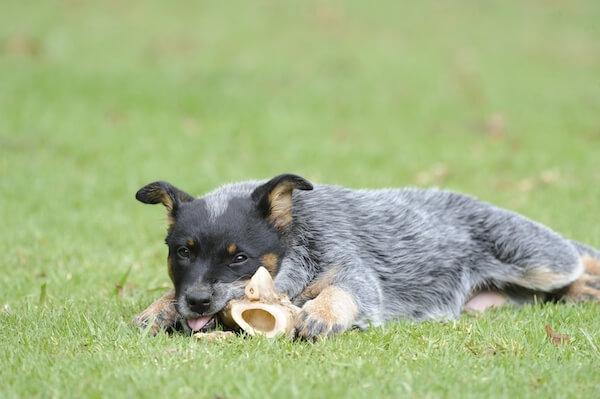 Blue heeler puppy photo