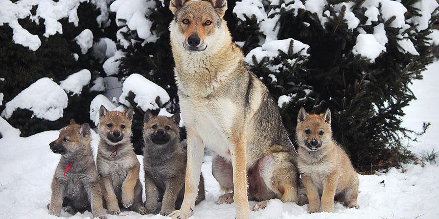 CSW_puppies_photo