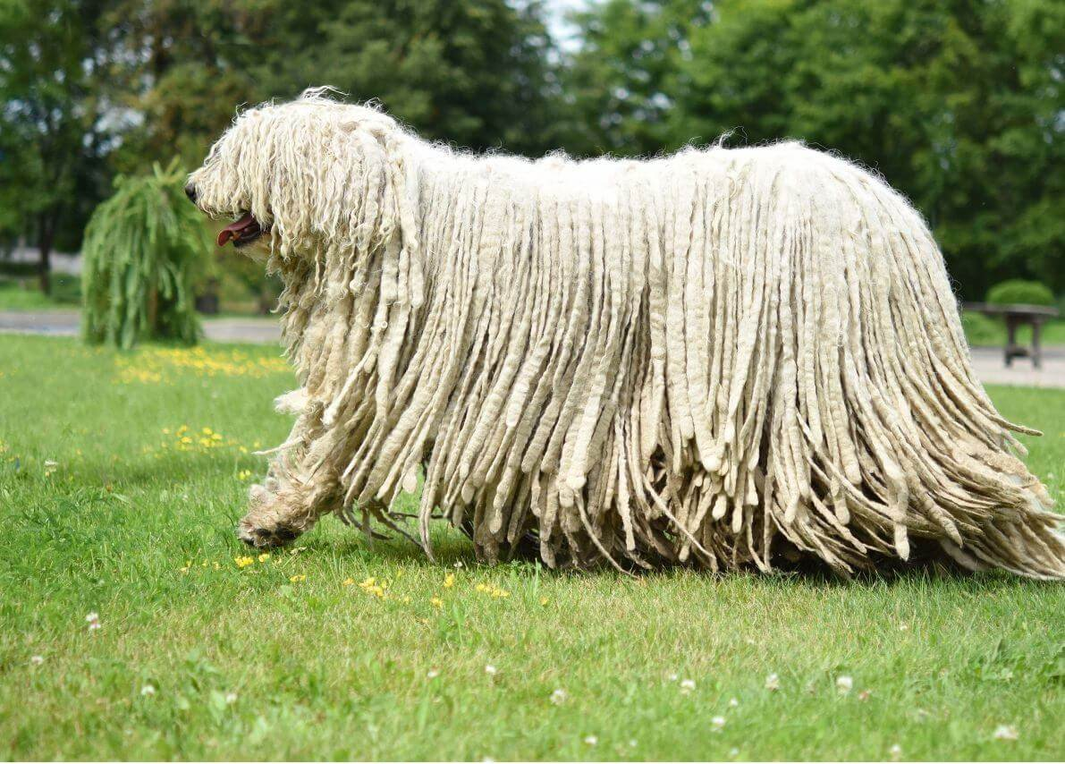 Komondor-long-hair-dog