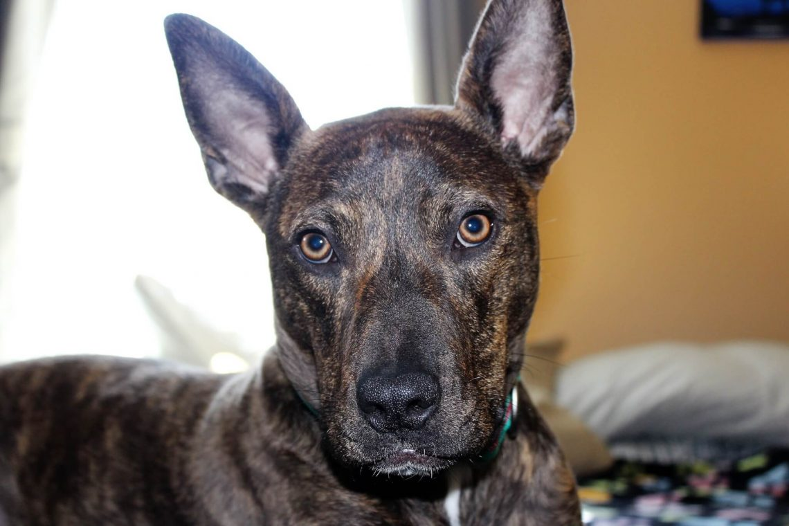german_shepherd_pitbull_mix
