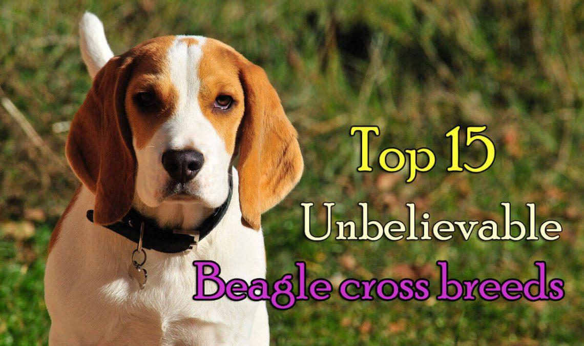 Top 15 Unbelievable Beagle Cross Breeds Dogmal
